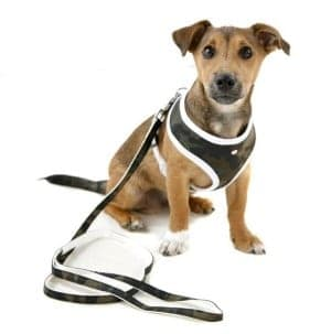 Image of Dog-Wearing-Harness