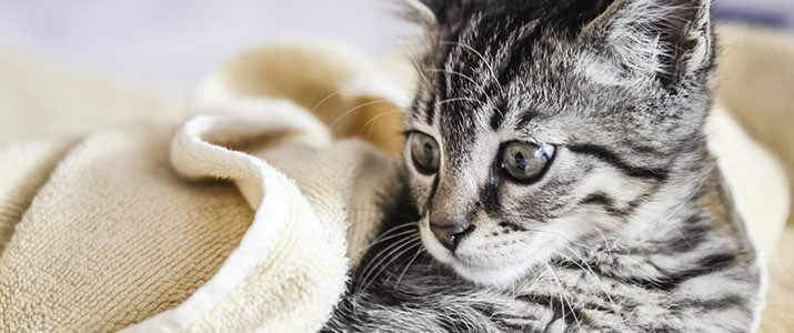 cover your cat with the wet towel