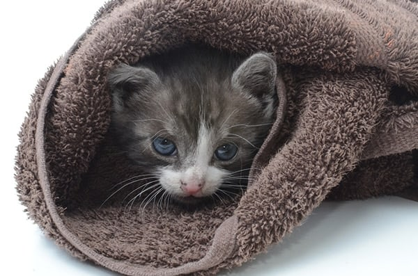 cute kitten in a towel
