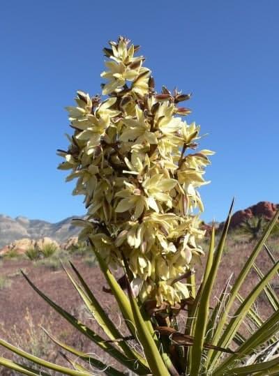 image of Yucca schidigera