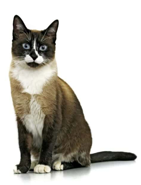 image of black and white cat