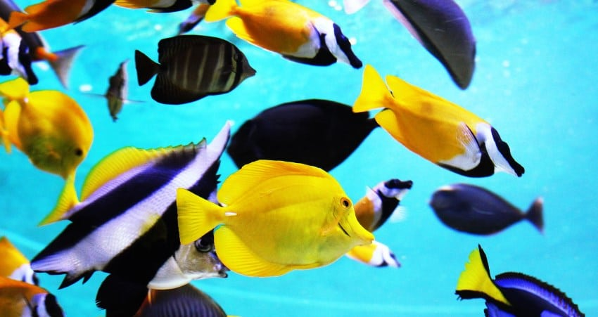 yellow tang and sailfin tang fish