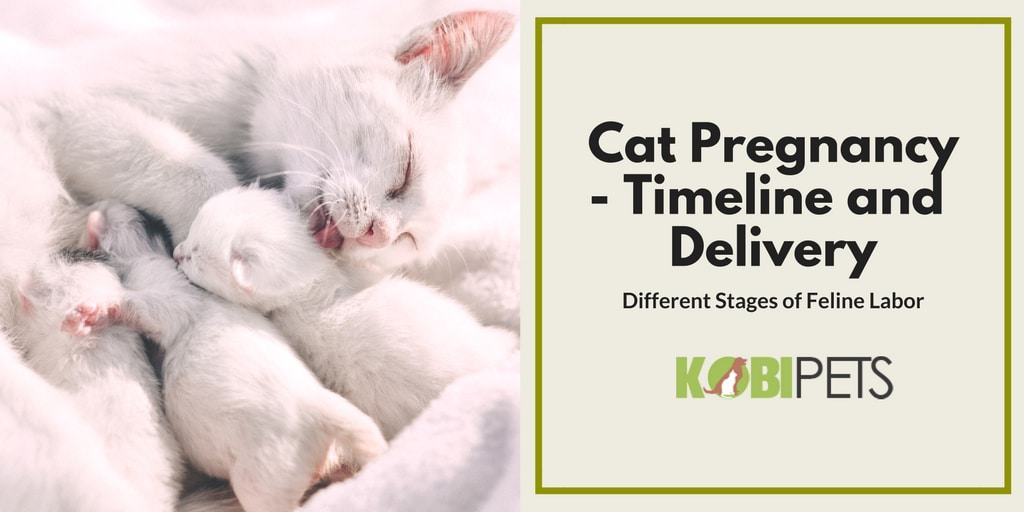 Cat Pregnancy Timeline - Featured Image
