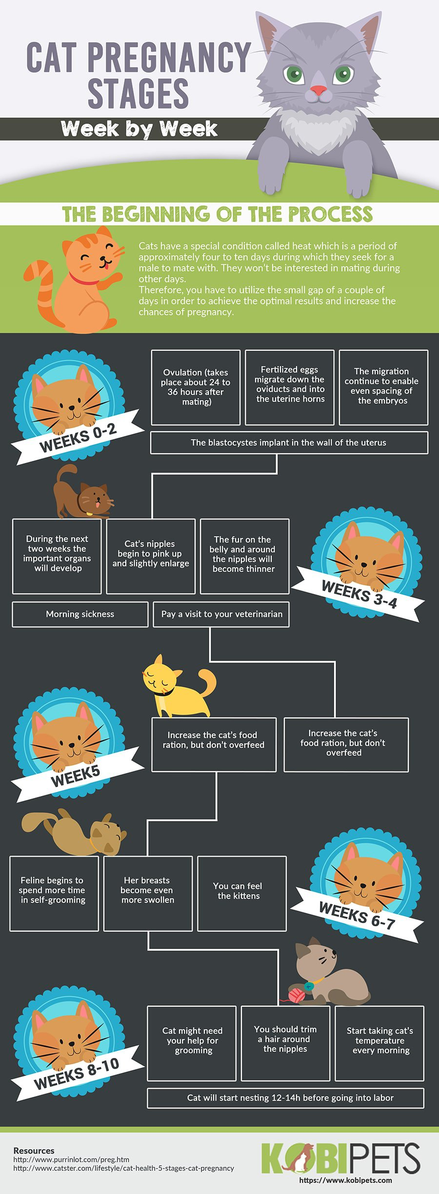 cat pregnancy timeline infographic