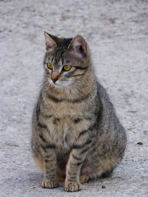 pregnant cat looking away