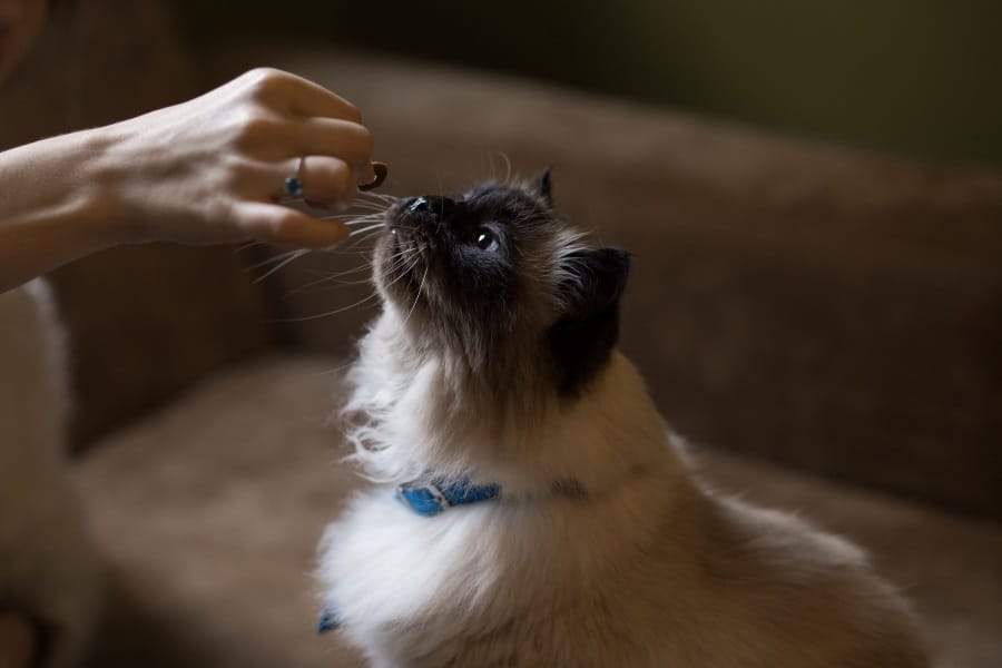 image of a cat getting a treat
