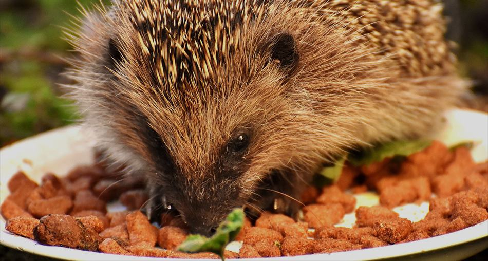 image-of-a-hedgehog-having-a-meal