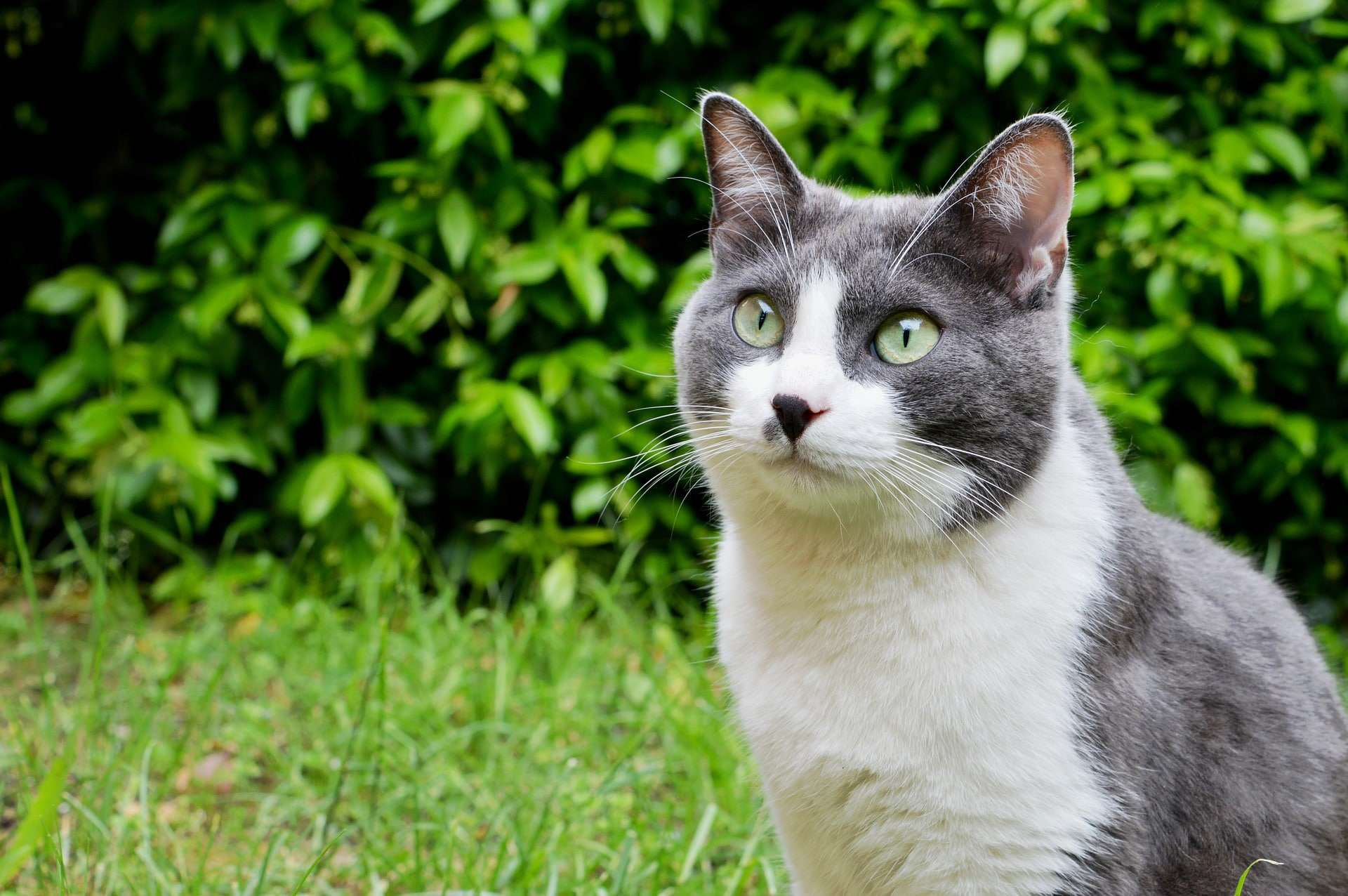image of a gray and white cat with the cute dark nose