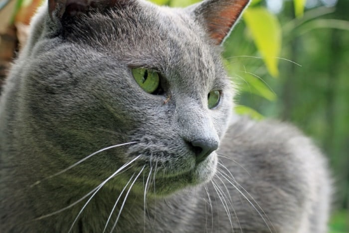 image of a male blue cat
