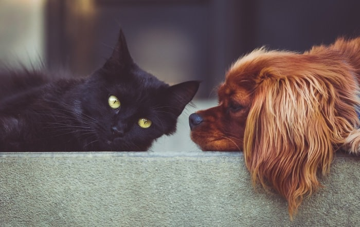 image of cocker spaniel and black cat lying together