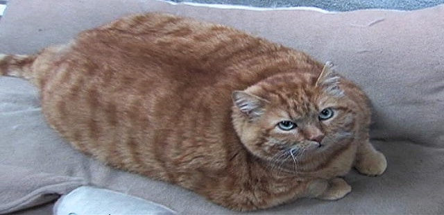 Overweight-Cat